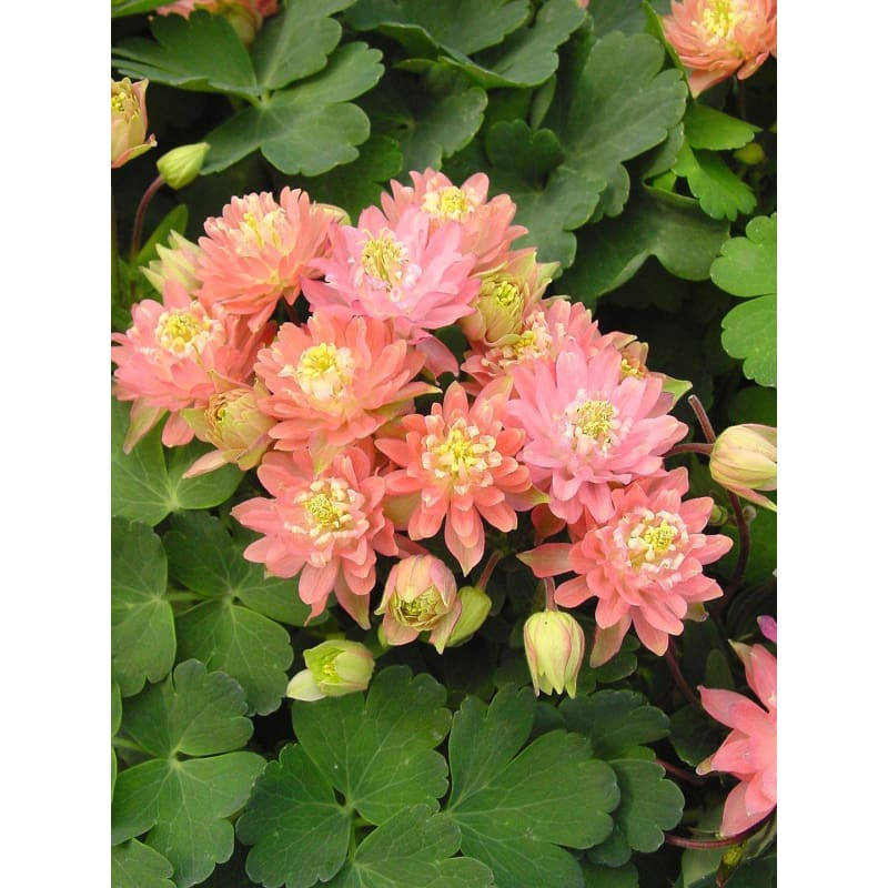 AQUILEGIA - CLEMENTINE formula MIX **sold out** - Flowers