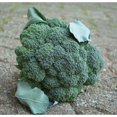 Arcadia Broccoli (F1 Hybrid 70 Days) - Vegetables