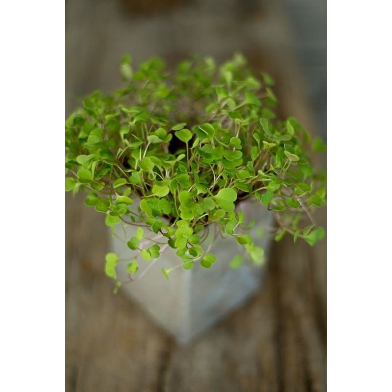 Arugula Microgreens (1oz) - Vegetables