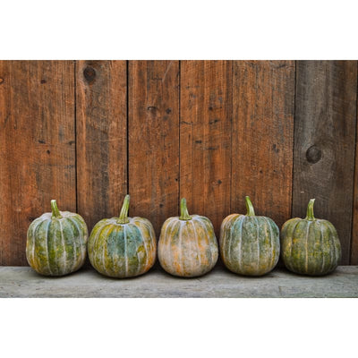 Autumn Frost Winter Squash (F1 Hybrid 100-105 Days) - Vegetables