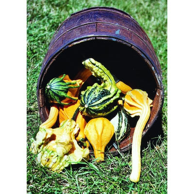 Autumn Wings Gourd (100 Days) - Vegetables