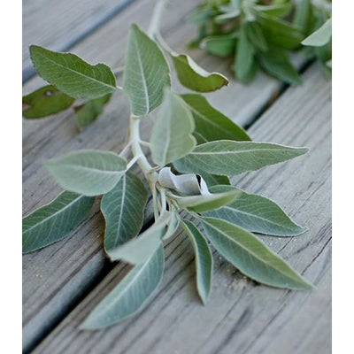 Basil Sage & Mint Fragrant Oil (5 Ml) - Soapmaking Supplies