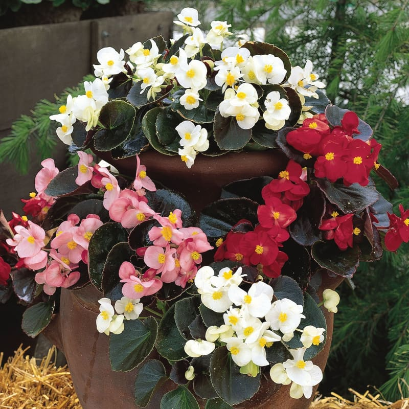 BEGONIA - BADA BING MIX -Discontinued