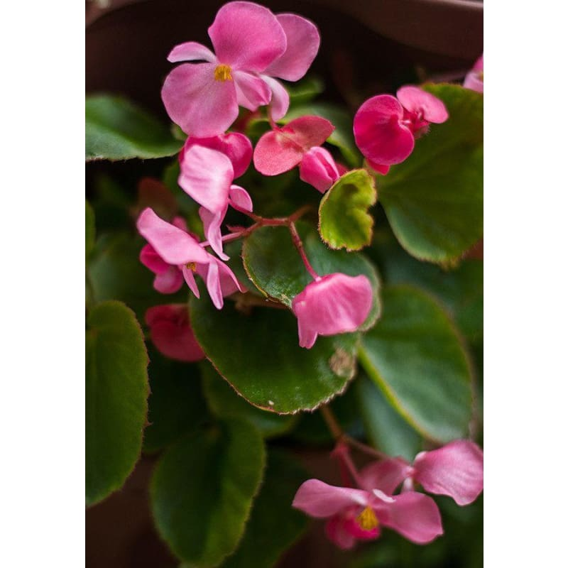 Begonia - Green Leaf Pink **sold out**