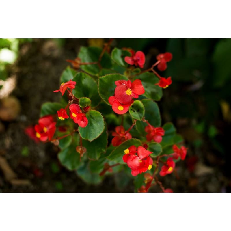 Begonia - Green Leaf Scarlet **sold out**