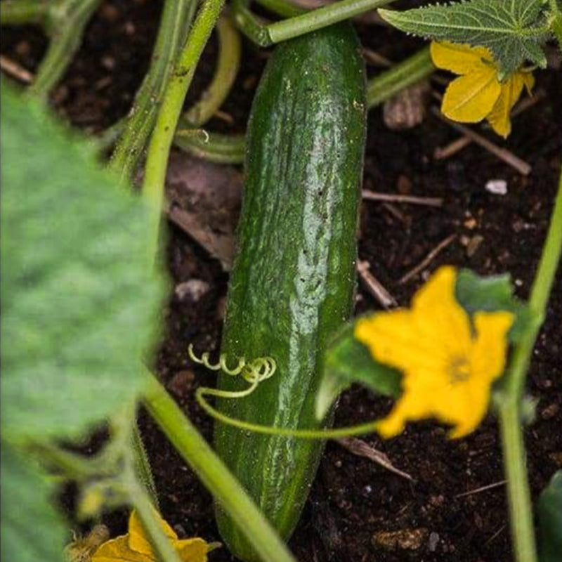 Beit Alpha Cucumber (F1 Hybrid 52 Days) - Vegetables
