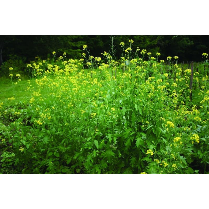 Black Mustard **currently Unavailable** - Herbs