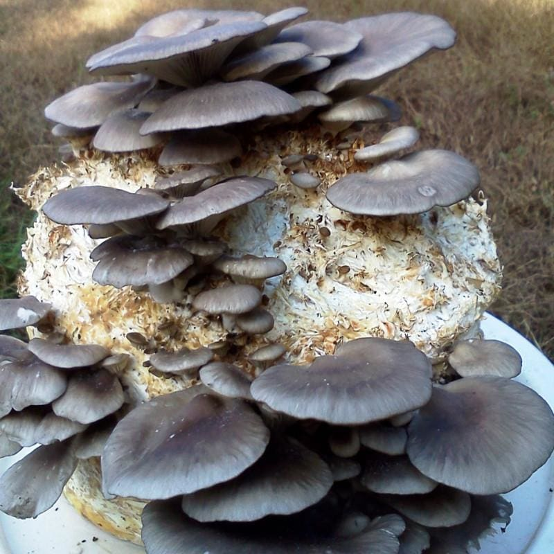 Black Oyster Mushroom Indoor Kit