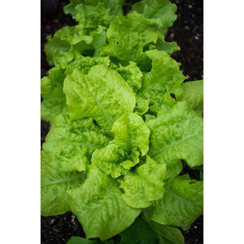 Black Seeded Simpson Lettuce (Heirloom, 46 Days)