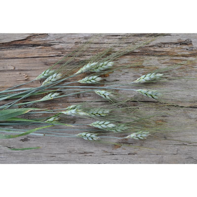 Black Tip Wheat - Flowers
