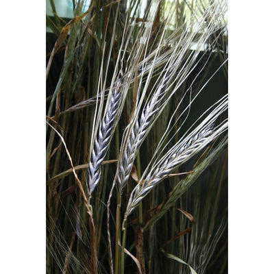 Blackhart Barley-Discontinued - Flowers