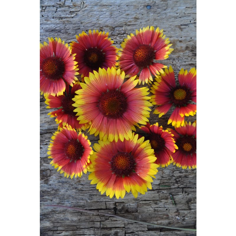 Blanket Flower - Flowers