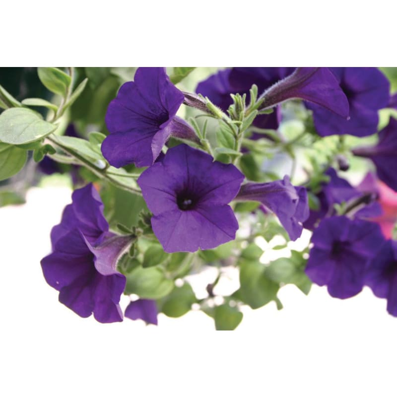 Blue Wave Petunia - Flowers