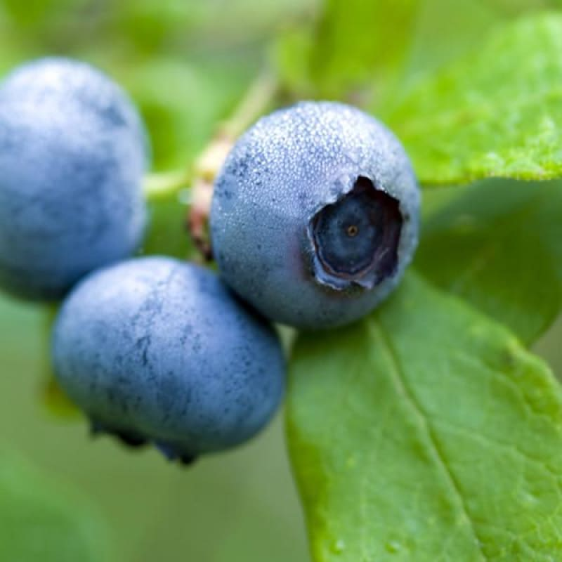 Blueberry 'Blue Jay'