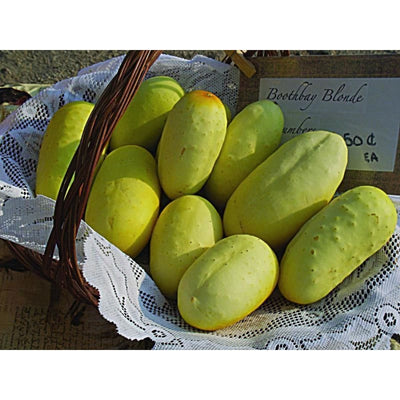 Boothbys Blond Cucumber (Heirloom) (63 Days) - Vegetables