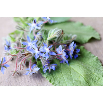 Borage - Herbs