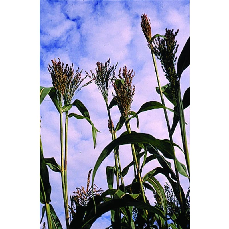 BROOM CORN - MIXED