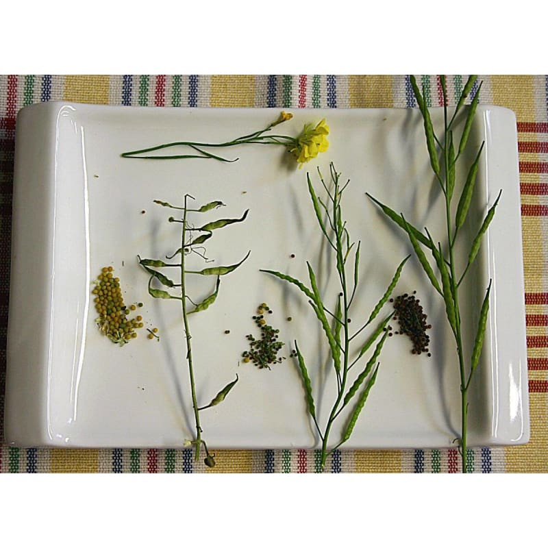 Brown Mustard - Herbs