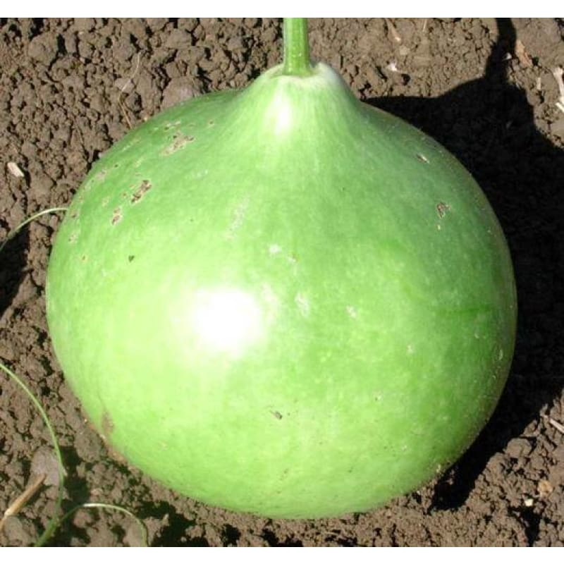 Bushel Gourd (120 Days) - Vegetables