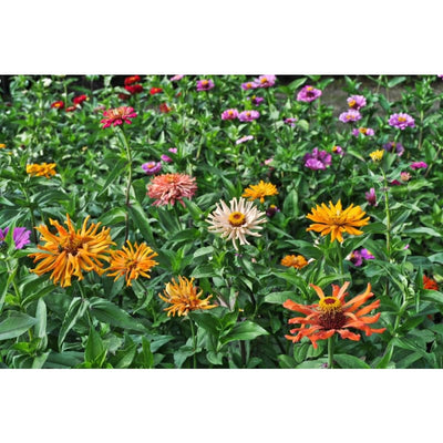 Cactus Flower Mix Zinnia - Flowers