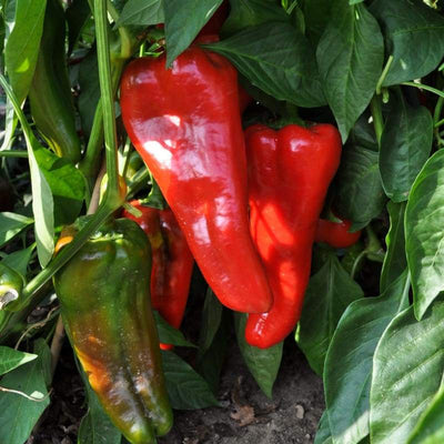 Carmen Pepper (F1 Hybrid 60-80 Days Organic) - Vegetables