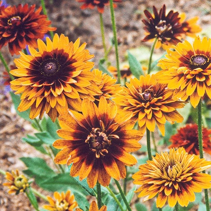 Cherokee Sunset Rudbeckia - Flowers