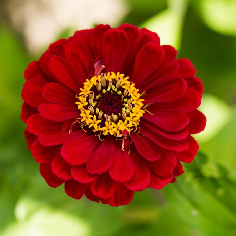 Cherry Queen Zinnia - Flowers