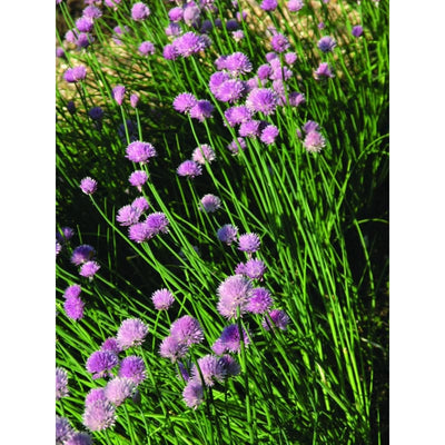 Chives - Herbs