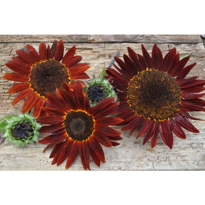 Chocolate Sunflower - Flowers