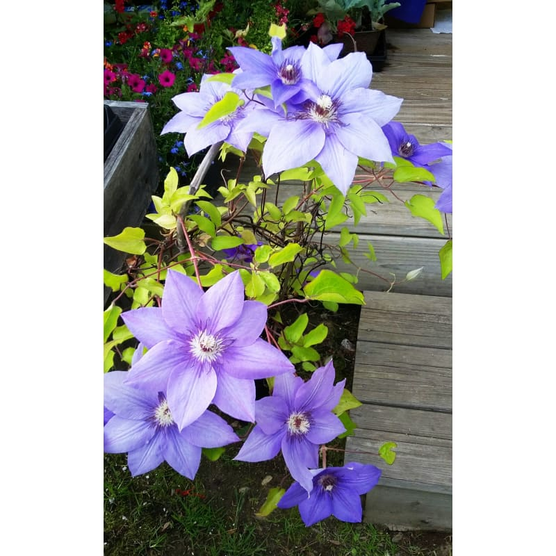 CLEMATIS 'RAMONA' (SOLD OUT) Please check out our other Clematis varieties