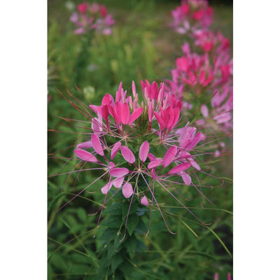 Cleome - Cherry Queen - Flowers