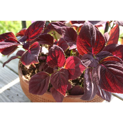 Coleus - Dark Chocolate- Discontinued - Flowers