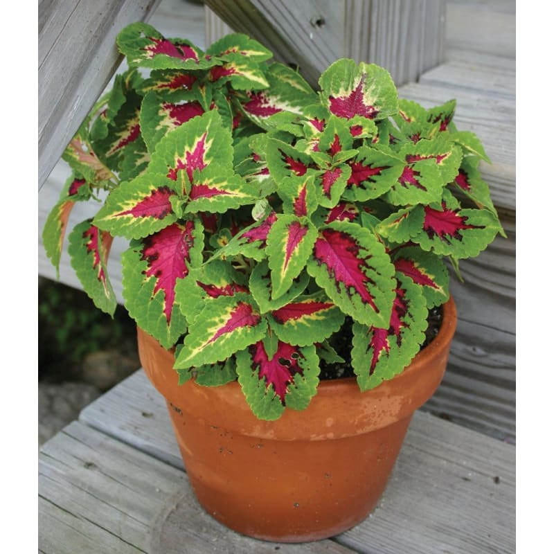 Coleus - Wizard Rose **sold out** - Flowers
