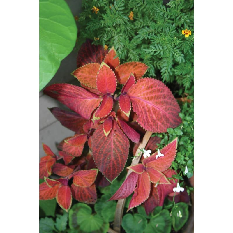 Coleus - Wizard Sunset **sold out** - Flowers