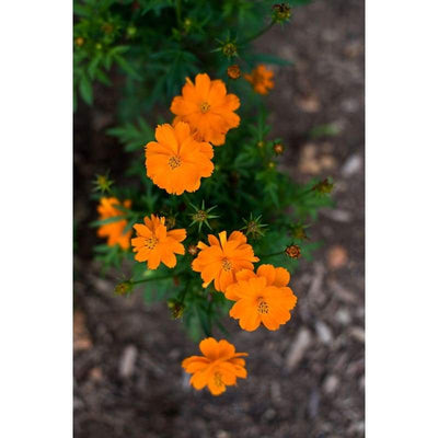 Cosmos - Cosmic Orange - Flowers