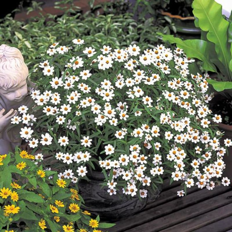 Crystal White Zinnia - Flowers