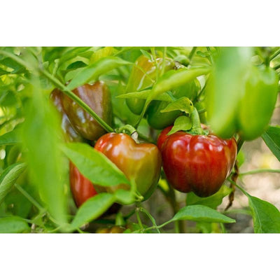 Cute Stuff Pepper (F1 Hybrid 62 Days)-Discontinued - Vegetables