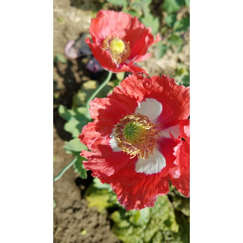 Danish Flag Poppy - Flowers