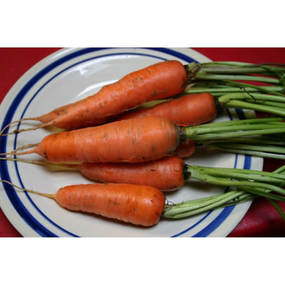 Danvers Half Long Carrot (Heirloom 75 days) - Vegetables