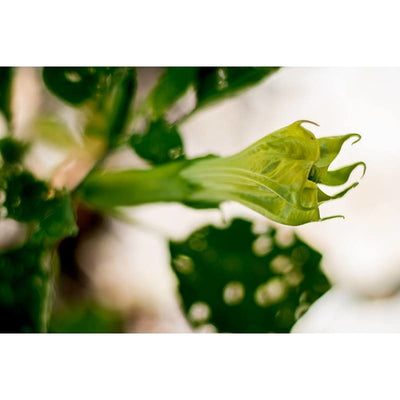 Datura - Ballerina Yellow -Discontinued - Flowers