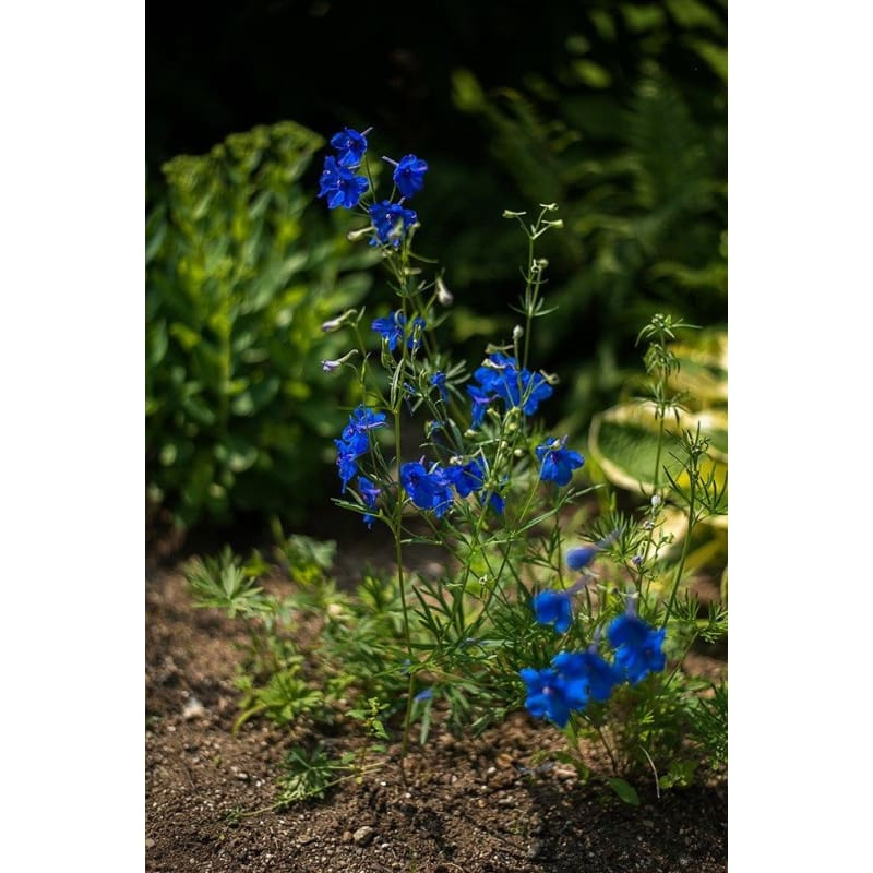 Delphinium - Blue Pygmy **sold out** - Flowers