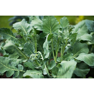 Di Cicco Broccoli (Heirloom 55-70 Days) - Vegetables