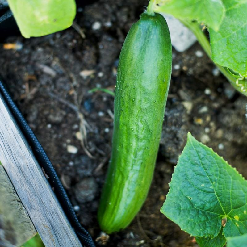 Diva Cucumber (58 Days) - Vegetables
