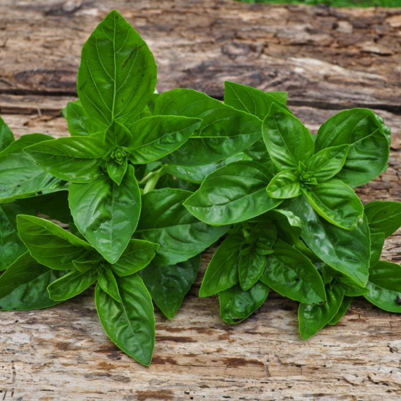 Dolce Fresca Basil - Herbs