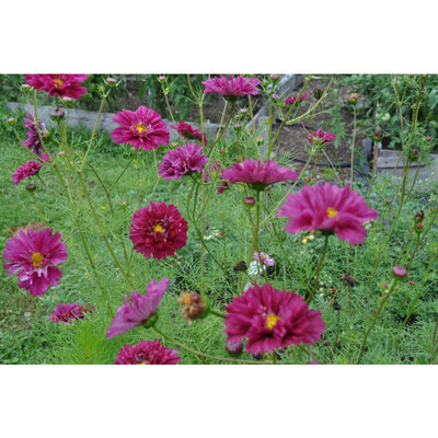 Double Click Cranberries Cosmos - Flowers