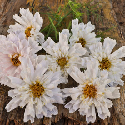 Double Click Snow Puff Cosmos - Flowers