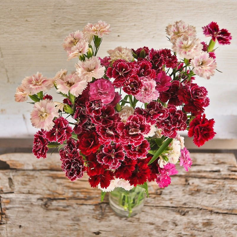 Double Dynasty Mix Dianthus - Flowers