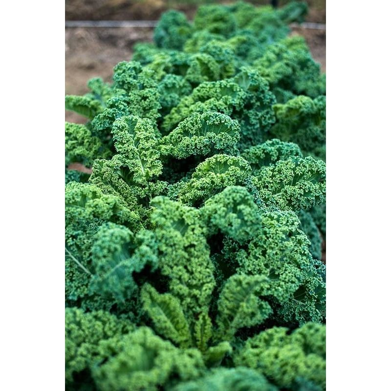 Dwarf Blue Curled Kale (Heirloom 55 Days) - Vegetables