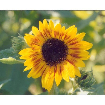 Sunflower - Dwarf Music Box - Flowers