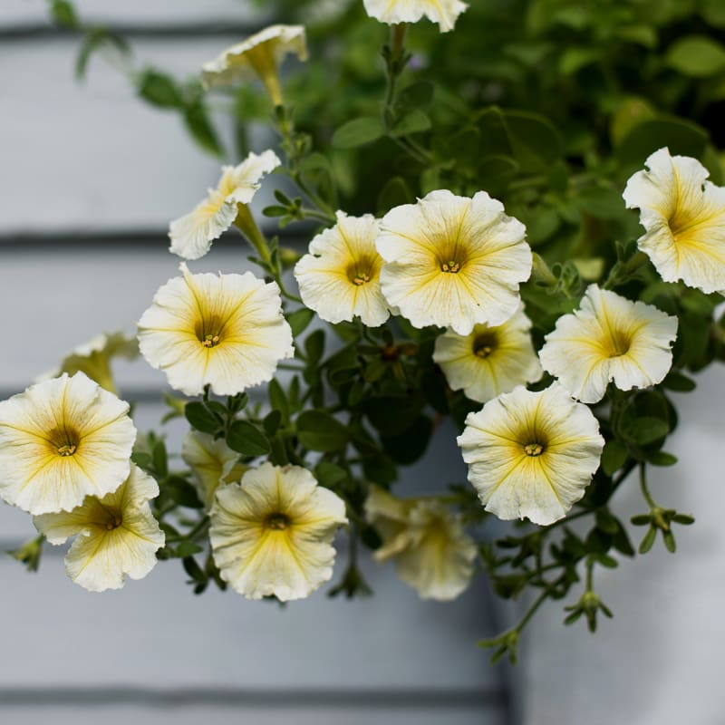 Easy Wave Yellow Petunia - Flowers